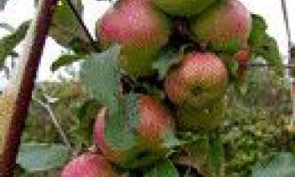 Кращі сорти колонних яблунь для підмосков`я і середньої смуги росії