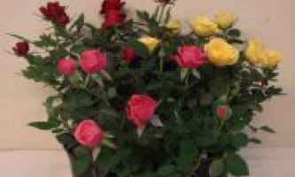 Мініатюрні троянди. Сорти мініатюрних троянд