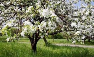 Можна вирощувати сорт яблуні голден делішес в середній смузі