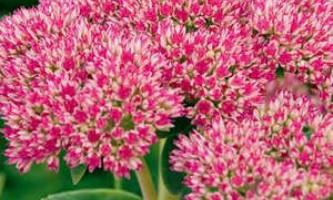Очиток - види рослини, вирощування та розмноження на дачі