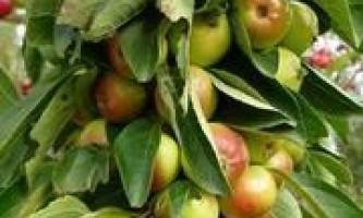 Особливості вирощування колоновидною яблуні