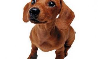 Плацента собак і її вплив на поведінку собаки