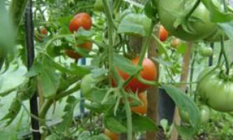 Чому чорніють плоди томата?