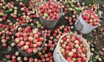 Чому яблуні в підмосков`ї плодоносять третій рік поспіль