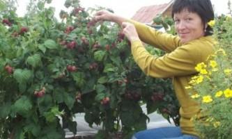 Чому варто вирощувати садову ожину