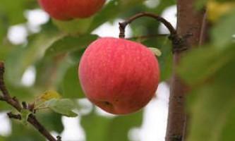 Детальний опис сорту яблуні «мелба»