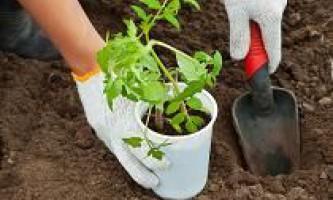 Посадка помідорів у відкритий грунт. Як правильно висаджувати розсаду?