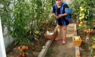 Правила вирощування томатів у теплиці і відкритому грунті