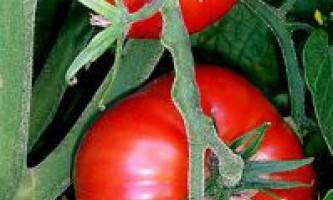 За яких умов квітки помідор краще запилюються?