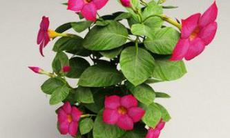 Райські квіти діпладенія в будинку без особливих зусиль