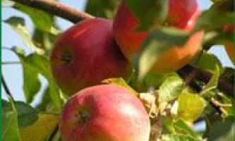 Ручне вбирання яблук в садах