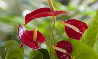 Сальвія в саду - умови вирощування та догляду