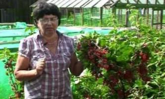 Штамбова смородина - як виростити в своєму саду деревце-кущ