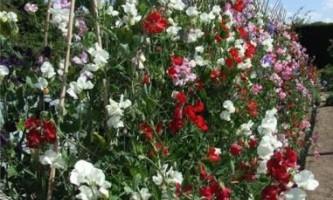 Сорти запашного горошку для прикраси вашого саду