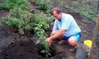 Терміни і способи посадки малини і ожини