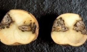 Суха гниль картоплі
