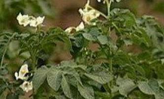 Технологія вирощування картоплі