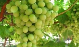 Добрива для винограду