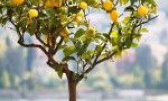 Догляд за домашнім лимоном