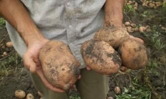 Врожайні сорти картоплі, які краще - імпортні чи вітчизняні