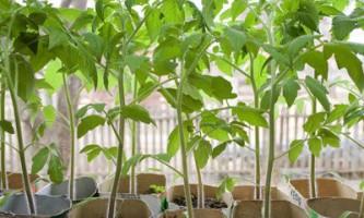 У чому краще вирощувати розсаду