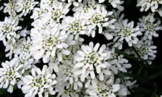 Вічнозелений иберис - коли садити, і як вирощувати
