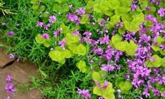 Вербейник монетчатий або луговий чай - улюблена рослина ландшафтних дизайнерів