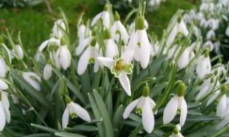 Весняні квіти в саду