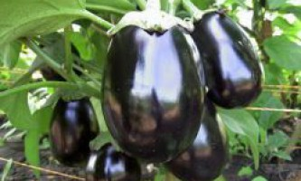 Вирощування баклажанів в відкритому грунті