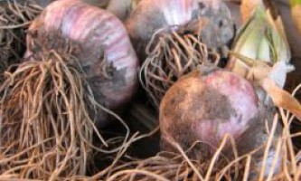 Вирощування часнику: ярого, озимого