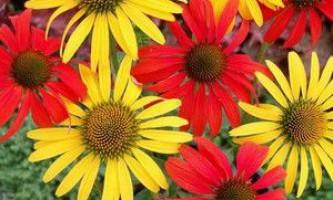 Вирощування квітів багаторічного кореопсису з насіння