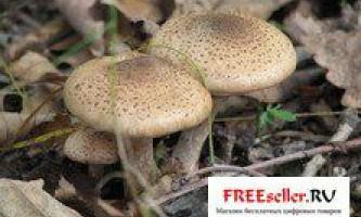 Вирощування грибів опеньків літніх