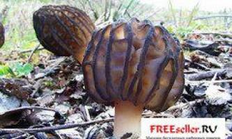 Вирощування грибів зморшків