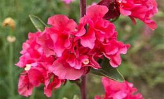 Вирощування і догляд за кларк на садовій ділянці