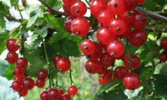 Вирощування червоної смородини