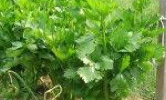 Вирощування листового і черешкові селери