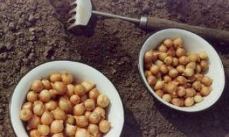 Вирощування цибулі навесні через севок