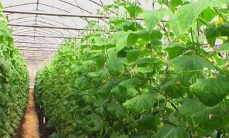 Вирощування овочів в теплиці.