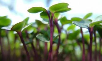 Вирощування розсади овочів для дачників