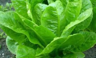 Вирощування салату