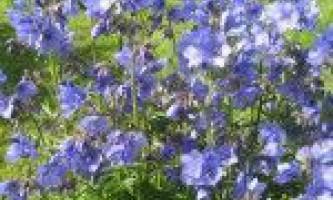 Вирощування синюхи блакитної
